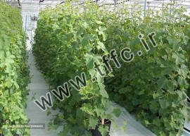 Export Cucumber Russia and Dubai