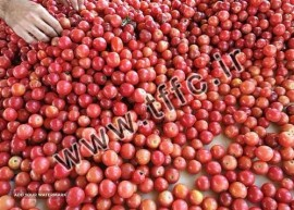 Tomato For Export