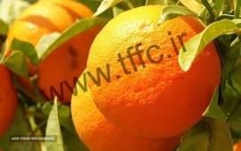 پرتقال برای صادرات