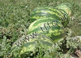 Watermelon exports to Russia