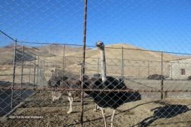 صادرات روغن شترمرغ