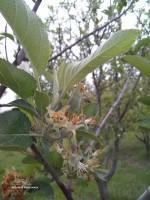 سیب صادراتی مشگین